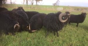 Hebridean Sheep NEW